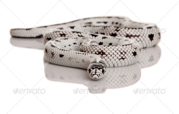 California Kingsnake, Lampropeltis getula californiae, in front of white background - Stock Photo - Images
