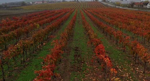 Aerial View on Vineyards
