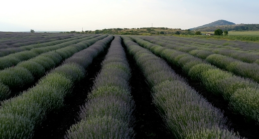Levels  Planted with Lavender