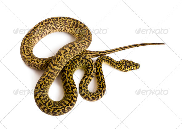High angle view of Morelia spilota variegata, a subspecies of python, against white background - Stock Photo - Images