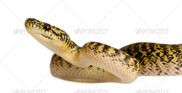 Morelia spilota variegata, a subspecies of python, against white background - Stock Photo - Images