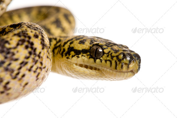 Close-up of Morelia spilota variegata, a subspecies of python, against white background - Stock Photo - Images