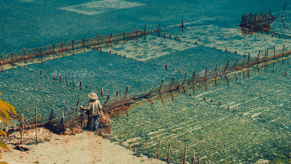 People collect seaweed plantations algal - Nusa Penida, Bali, Indonesia - Stock Photo - Images