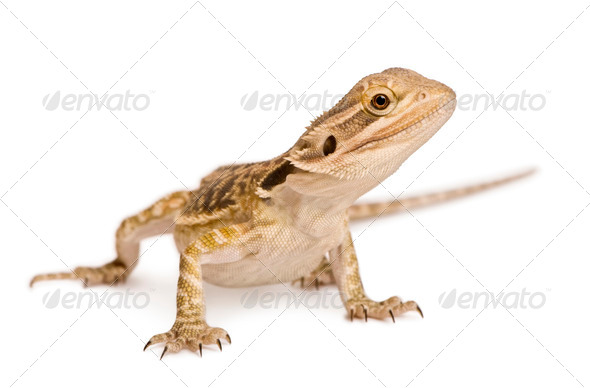 Lawson's dragon, Pogona henrylawsoni, against white background - Stock Photo - Images