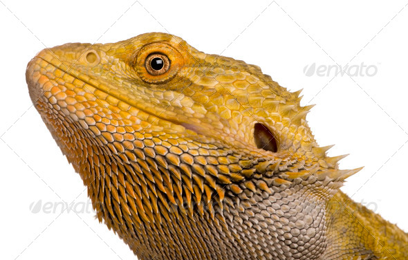 Close-up of Lawson's dragon, Pogona henrylawsoni, against white background - Stock Photo - Images