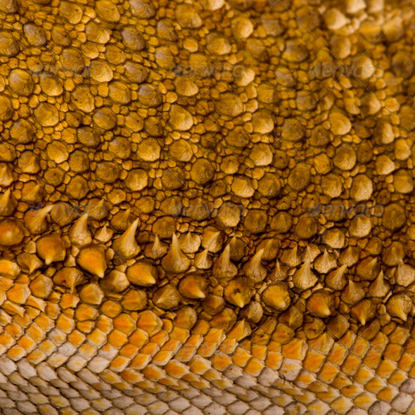 Close-up of scales on Lawson's dragon, Pogona henrylawsoni - Stock Photo - Images