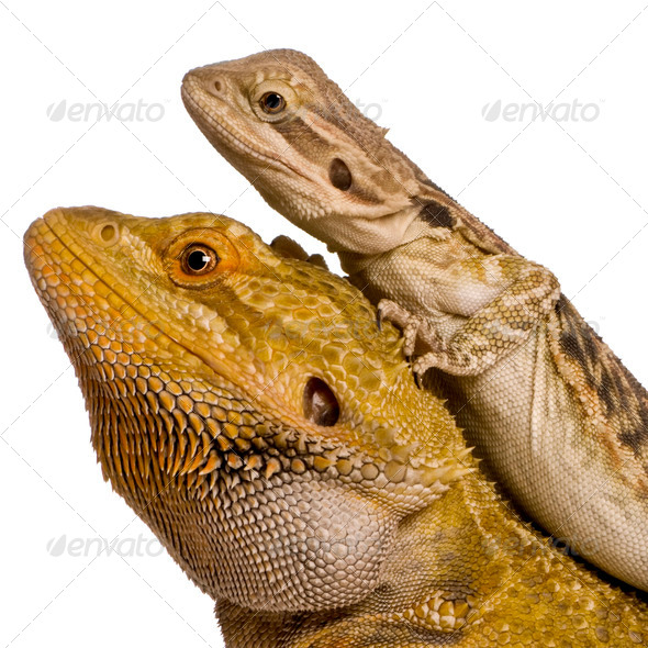 Side view of two Lawson's dragons, Pogona henrylawsoni, against white background - Stock Photo - Images