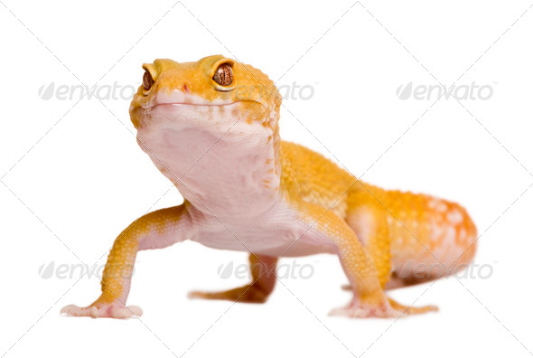 Sunglow Leopard gecko, Eublepharis macularius, in front of white background - Stock Photo - Images