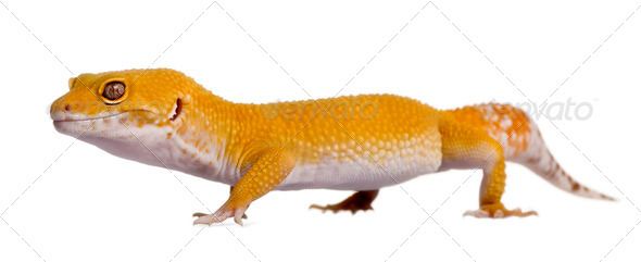 Leopard gecko, Eublepharis macularius, walking in front of white background - Stock Photo - Images