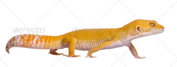 Sunglow Leopard gecko, Eublepharis macularius, walking in front of white background - Stock Photo - Images
