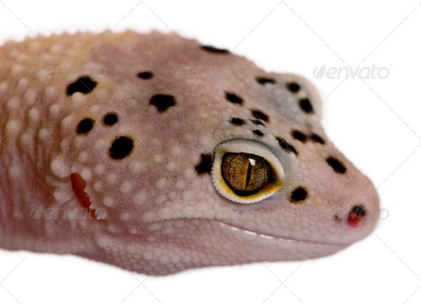 Bell albino bolt strip leopard gecko, Eublepharis macularius, in front of white background - Stock Photo - Images