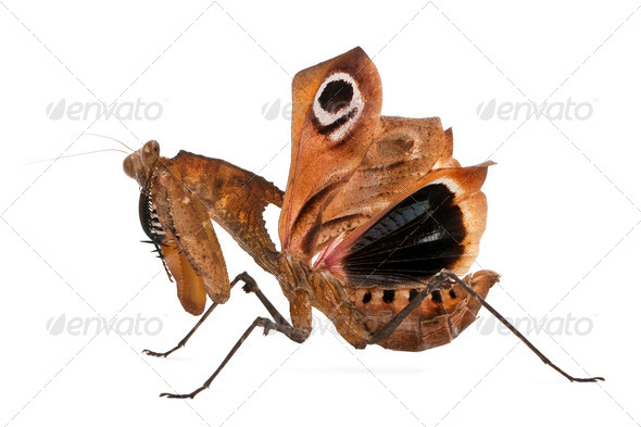 Giant Dead Leaf Mantis, Deroplatys desiccata, 7 months old, against white background - Stock Photo - Images