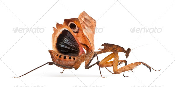 Giant Dead Leaf Mantis, Deroplatys desiccata, 7 months old, in front of white background - Stock Photo - Images