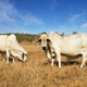 Cows - PhotoDune Item for Sale