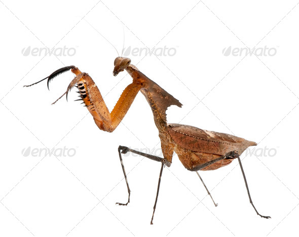 Giant Dead Leaf Mantis, Deroplatys desiccata, 4 months old, against white background - Stock Photo - Images