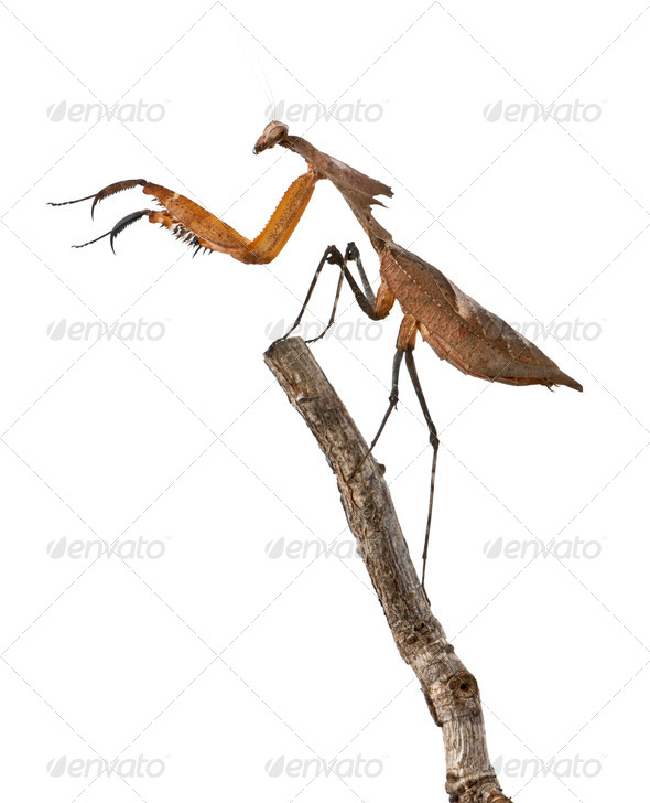 Giant Dead Leaf Mantis, Deroplatys desiccata, 4 months old, on branch in front of white background - Stock Photo - Images