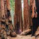 Sequoia - PhotoDune Item for Sale