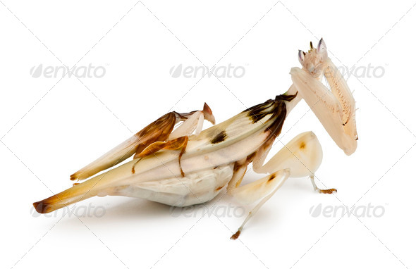 Male and female hymenopus coronatus, Malaysian orchid mantis, in front of white background - Stock Photo - Images