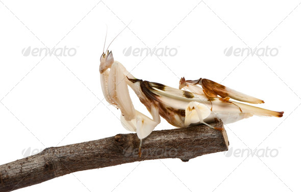 Male and female hymenopus coronatus, Malaysian orchid mantis, on branch in front of white background - Stock Photo - Images