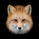 Red fox  on dark background - PhotoDune Item for Sale