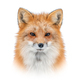Red fox on white background - PhotoDune Item for Sale