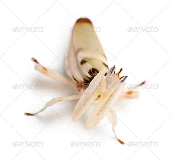 Female hymenopus coronatus, Malaysian orchid mantis, in front of white background - Stock Photo - Images