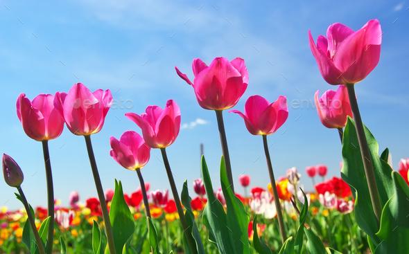 Tulips on sky background. - Stock Photo - Images