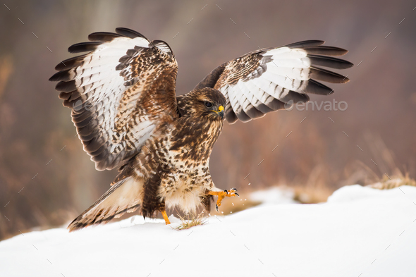 Bird of prey landing on snow covered meadow with wings wide open in wintertime - Stock Photo - Images