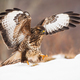 Bird of prey landing on snow covered meadow with wings wide open in wintertime - PhotoDune Item for Sale