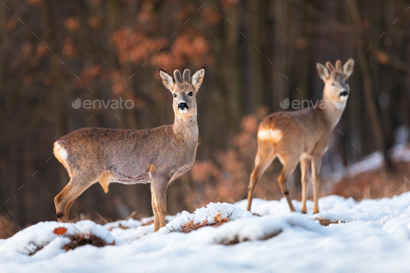 Herd of roe deer on snow in winter at sunset with forest in background - Stock Photo - Images