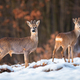 Herd of roe deer on snow in winter at sunset with forest in background - PhotoDune Item for Sale