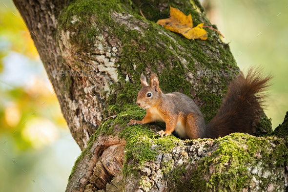 Red squirrel hiding in mossy tree trunk with yellow autumnal leafs - Stock Photo - Images