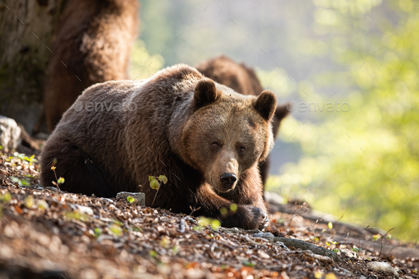 Sunkissed adult brown bear laying on the forest leaves - Stock Photo - Images
