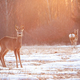 Two roe deer on a meadow early in the morning with sun rays shining - PhotoDune Item for Sale