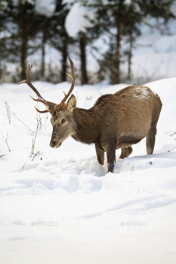 Hungry red deer stag looking for food in deep snow - Stock Photo - Images