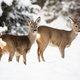 A pair of shy roe deer posing on the snowy cover of the forest meadow - PhotoDune Item for Sale