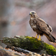 Wild common buzzard on a tree stump in nature with copy space - PhotoDune Item for Sale