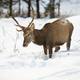 Hungry red deer stag looking for food in deep snow - PhotoDune Item for Sale