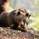 Sunkissed adult brown bear laying on the forest leaves - PhotoDune Item for Sale