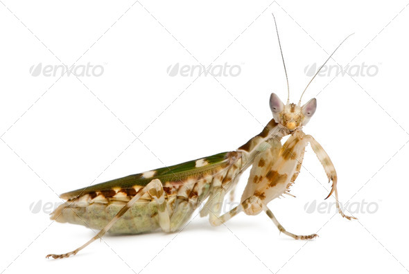 Creobroter or Flower Mantis, 1 month old, against white background - Stock Photo - Images