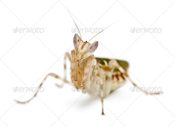 Creobroter or Flower Mantis, 1 month old, in front of white background - Stock Photo - Images