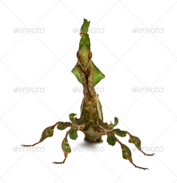 Ghost Mantis, Phyllocrania paradoxa, 3 months old, in front of white background - Stock Photo - Images