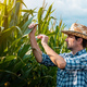 Corn farmer examining crops in field - PhotoDune Item for Sale