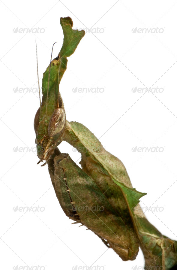 Ghost Mantis, Phyllocrania paradoxa, praying mantis, 3 months old, in front of white background - Stock Photo - Images
