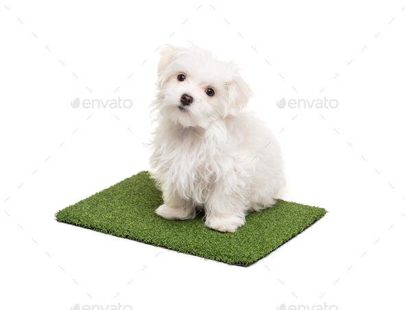 Cute Maltese Puppy Dog Sitting On