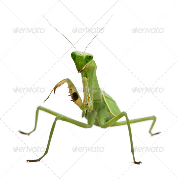 Stagmatoptera Sp, Stagmatoptera, praying mantis, in front of white background - Stock Photo - Images