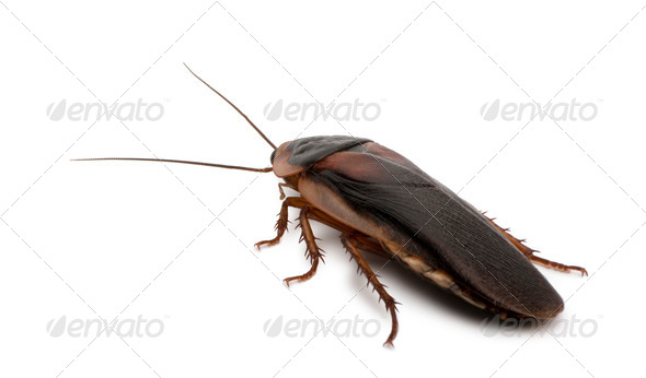 Dubia cockroach, Blaptica dubia, in front of white background - Stock Photo - Images