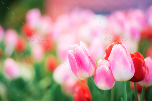 Pink tulip in winter - Stock Photo - Images