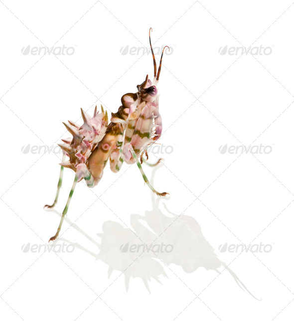 Spiny flower mantis, Flower Mantis, Pseudocreobotra Wahlbergii, in front of white background - Stock Photo - Images