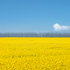 beautiful rapeseed flower field in spring - PhotoDune Item for Sale